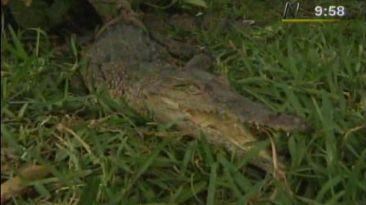 Chiclayo: hallaron cocodrilo bebe en plena vía pública