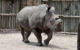 Muere uno de los últimos rinocerontes blancos del norte