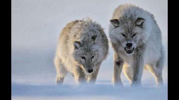 ¿Por qué España quiere matar a casi 200 lobos?