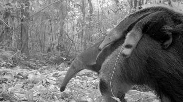 Así reaccionaron los animales del Manu a cámaras 'trampa'