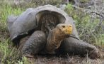 Tortugas gigantes de las Galápagos se salvan de la extinción
