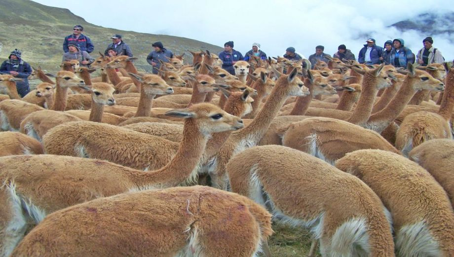 Estas vicuñas son la nueva atracción de Junín [Fotos]