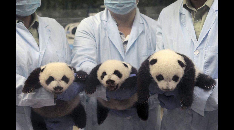 Primeros 100 días de los panda trillizos