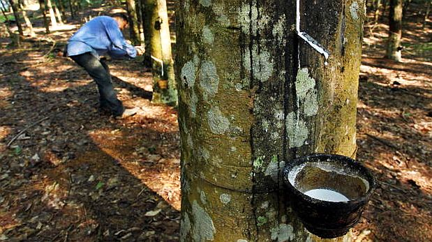 La corteza del árbol shiringa se regenera pocos días después de las
