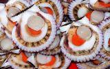 El Niño costero afecta 80% de producción de conchas de abanico