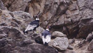 Nido de cóndor frente al mar de Sechura sorprendió a expertos