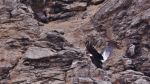 Nido de cóndor frente al mar de Sechura sorprendió a expertos - Noticias de lobos marinos