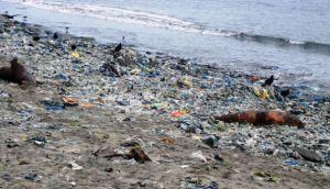 Áncash: unos 500 lobos marinos muertos halló policía ecológica