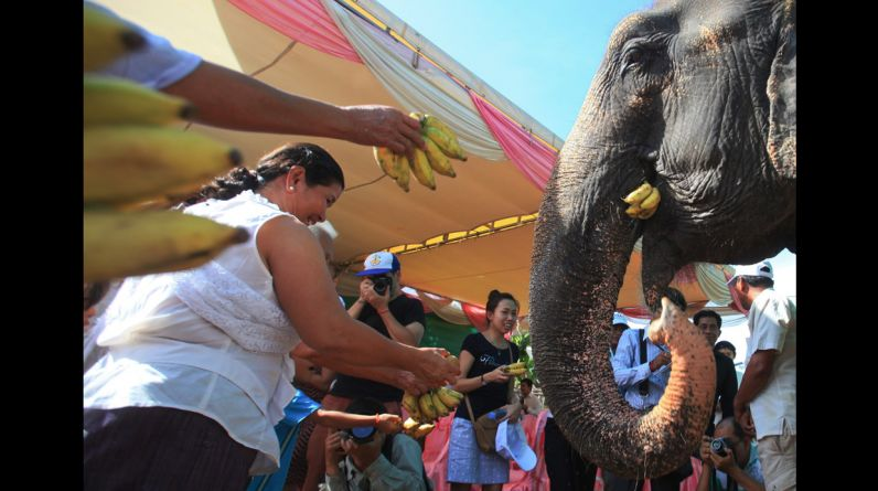 Con 30 años de servicio transportando turistas, Sambo, de 54 años, ha sido una atracción regular en el templo de Wat Phnom desde 1980. (Reuters)