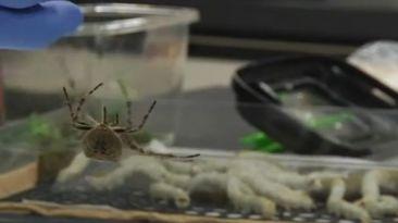 Crean una seda súper resistente con genes de arañas y gusanos
