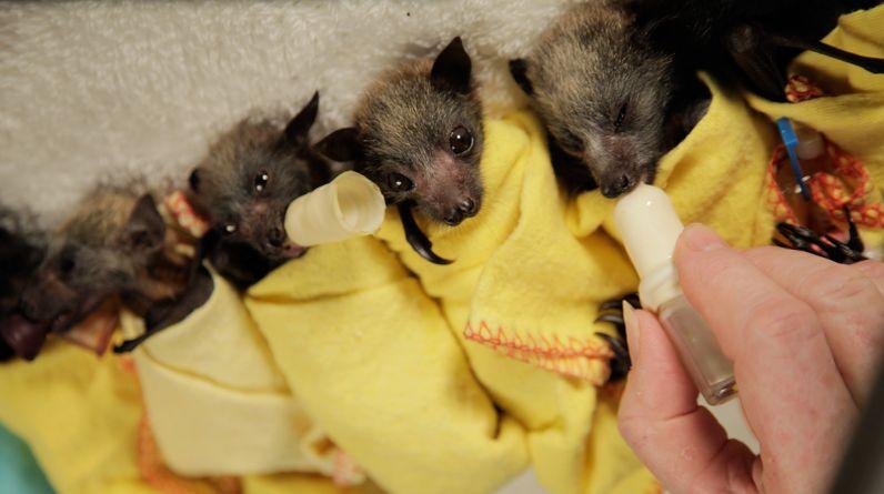 Un incendio forestal terminó con la vida de cientos de estos murciélagos, incluyendo la madre de estas crías. (Foto: Australian Bat Clinic & Wildlife Trauma Centre)