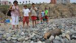 Rescatan a lobo marino que apareció herido en playa de Barranco - Noticias de carlos yaipen