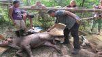 Murió tapir que estuvo cautivo en lodge de conocido hotel - Noticias de tambopata