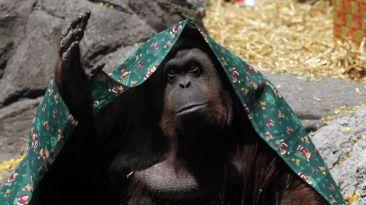 Argentina: Orangután cautivo tiene derecho humano a la libertad