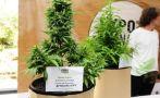 Uruguay tiene 1.200 cultivadores legales de marihuana