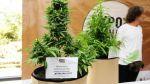 Uruguay tiene 1.200 cultivadores legales de marihuana - Noticias de junta nacional de drogas