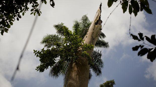 El murciélago infectado habría vivido en este árbol hueco. (Foto: AP)