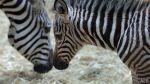 ¿Por qué las cebras tienen rayas? - Noticias de línea blanca