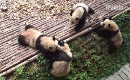YouTube: lucha libre entre pandas existe según este video