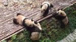 YouTube: lucha libre entre pandas existe según este video - Noticias de comentarista