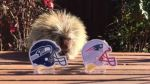 YouTube: puercoespín predice al ganador del Super Bowl XLIX - Noticias de teddy bear