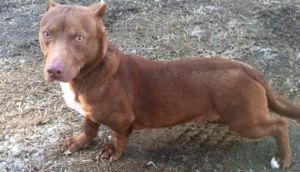 Facebook: perro con cabeza de pitbull y cuerpo de salchicha