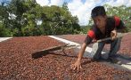 Nuestro cacao fino de aroma recibe hasta US$4.500 la tonelada