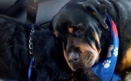 YouTube: Rottweiler llora y no se separa de su hermano muerto