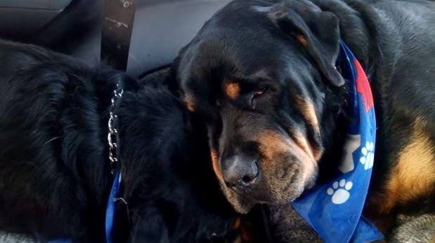 Nena Muerta Por Rot Wailer: YouTube: Rottweiler Se Niega A Dejar A Hermano Muerto