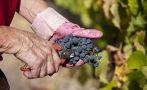 La exportación de uvas superó los US$700 millones en el 2015