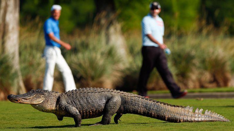 Imagen de un cocodrilo captado en Avondale, Louisiana (EE.UU.), en abril del 2013. (Foto: Chris Graythen/Getty Images)