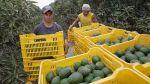Exportaciones: Norte peruano abastece con palta hass a China - Noticias de motupe