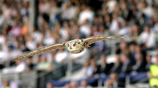 Cuando extiende sus alas puede llegar a medir hasta dos metros.