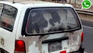 WhatsApp: trasladan dos terneros en la maletera de un taxi