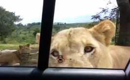 YouTube: ¿qué harías si un león abre la puerta de tu auto?