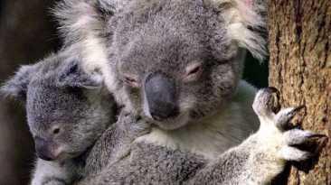 Australia sacrifica a 700 koalas debido a la superpoblación