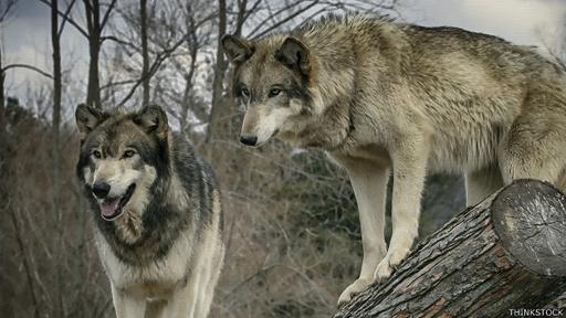 Los perros y los humanos se dividían la caza para maximizar los resultados.