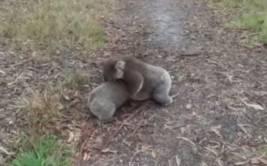 YouTube: koalas pelean como si fuesen luchadores de sumo