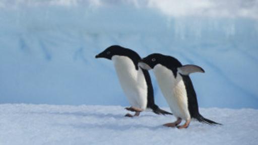 Por qué los pingüinos caminan como patos?   Tecnología y ciencias ...