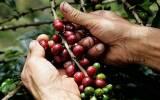 Excedente en producción local de café preocupa a productores