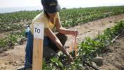 Arequipa: Hongos benéficos evitan daños en cultivos