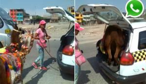 WhatsApp: maltratan llamas llevándolas en 'taxi colectivo'