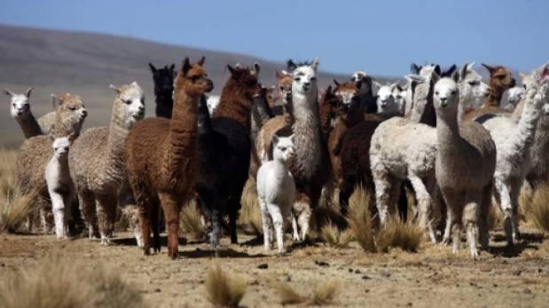 Arequipa: vacunarán más de 359.000 ovejas y alpacas por friaje
