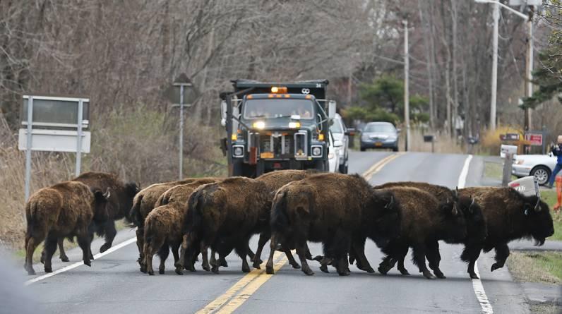 Una manada de búfalos cruza una calle en el condado de Albany, en Nueva York. Se escaparon de una granja del pueblo de Bethlehem. (AP)