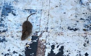 [Blog] Visitando el Templo de las Ratas en la India