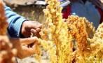 Envíos de quinua peruana sumarán US$200 mlls. al cierre del año