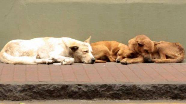 Puno: cientos de perros callejeros serán sacrificados