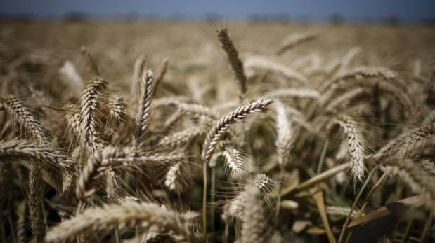 Cambio climático reduce rendimiento del trigo en EE.UU.