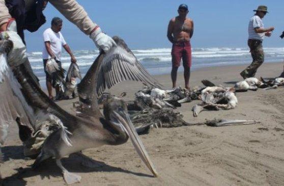 muerte-pelicanos-2