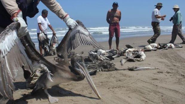 Matanza de pelícanos: municipio del Callao clausurará empresa